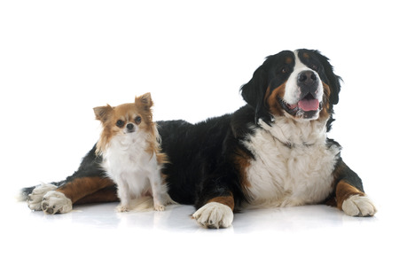 long hair chihuahua: chihuahua and bernese mountain dog in front of white background