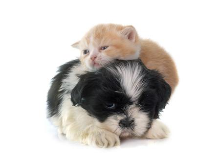 perros jugando: gatito persa y cachorro delante de fondo blanco