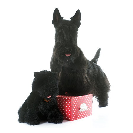 cuddly toy: scottish terrier in front of white background