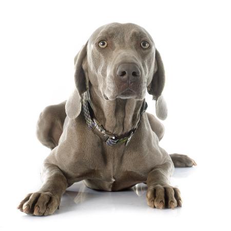pointer dog: gray Weimaraner in front of white background