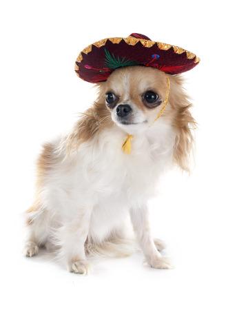 sombrero de charro: chihuahua y sombrero delante de fondo blanco Foto de archivo