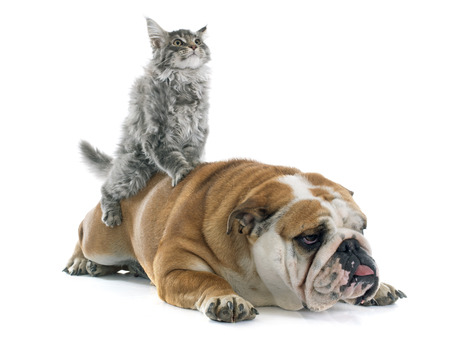 maine cat: maine coon kitten  and english bulldog in front of white background Stock Photo