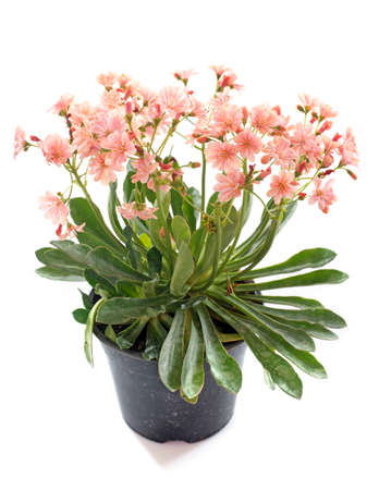 perennial plant: lewisia flowers in front of white background