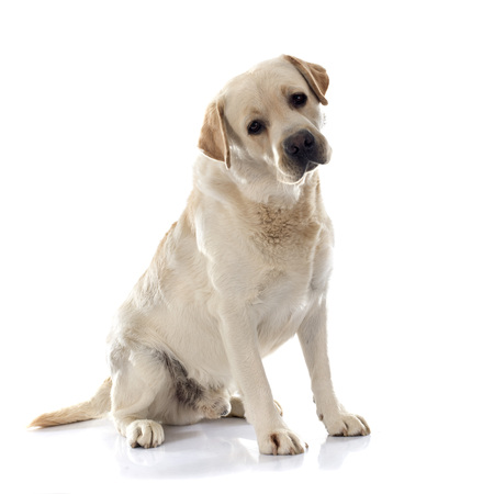 labrador retriever in front of white background
