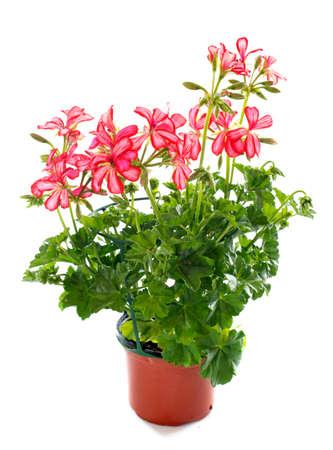 geranium: pink Geranium