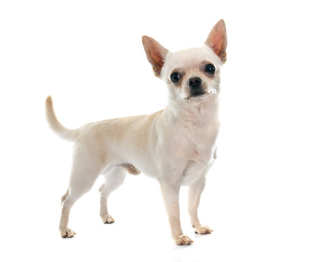 small white dog: young chihuahua in front of white background