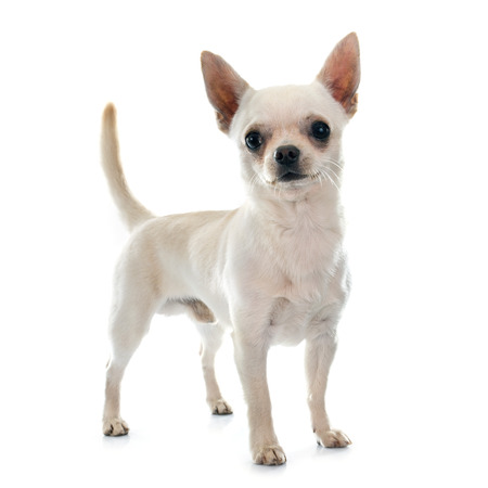 short hair dog: young chihuahua in front of white background
