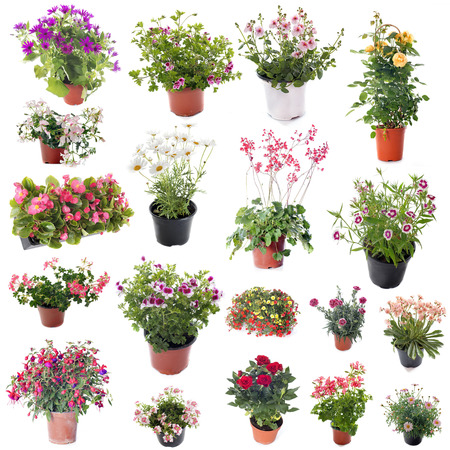 pelargonium: group of flower plants in front of white background Stock Photo