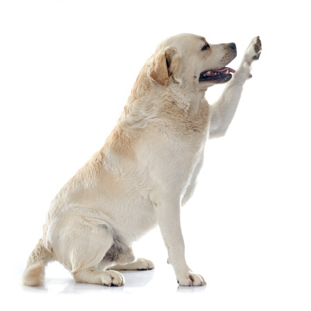 white background: labrador retriever in front of white background