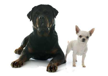 short hair dog: young chihuahua and rottweiler in front of white background