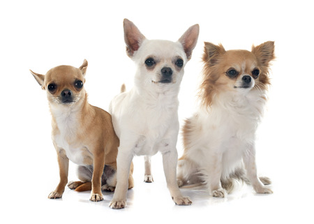 long hair chihuahua: young chihuahuas in front of white background
