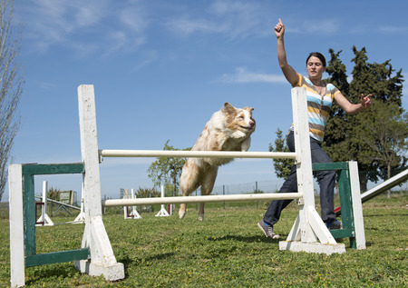 border collie in a training of agility