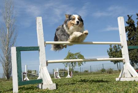 australian shepherd in a training of agility