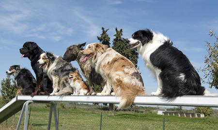group of dogs in a training of agility Foto de archivo