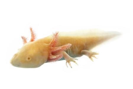 salamandre: Salamandre mexicaine devant un fond blanc