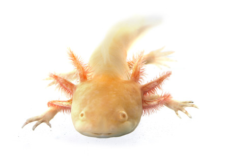 salamandre: Mexican salamander in front of a white background Banque d'images