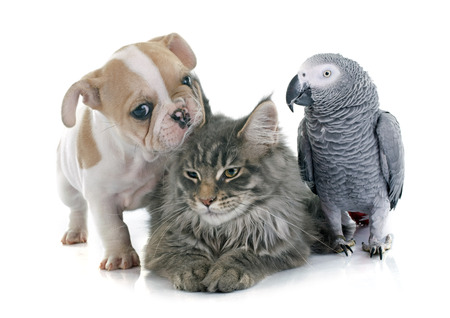 cats playing: parrot, puppy and cat in front of white background