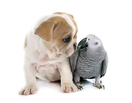 african grey parrot: parrot and puppy in front of white background Stock Photo