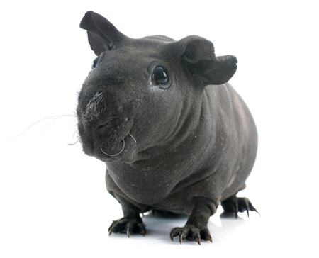 hairless: Hairless Guinea Pig in front of white background Stock Photo