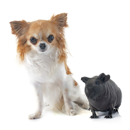 hairless: Hairless Guinea Pig and chihuahua in front of white background