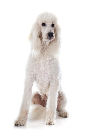 standard poodle: standard poodle in front of white background