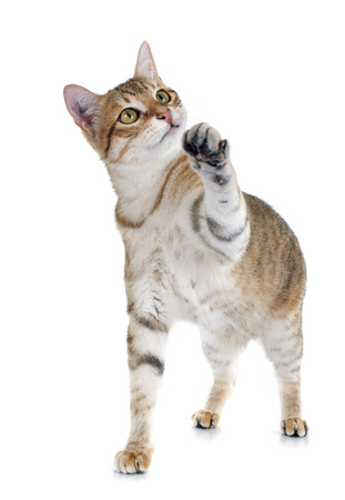 cat playing: tabby cat in front of white background Stock Photo