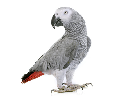 African grey parrot in front of white background