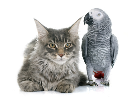 two parrots: African grey parrot and maine coon cat in front of white background