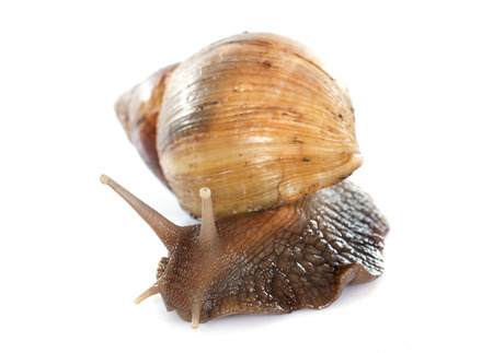 mollusc: giant African snail in front of white background