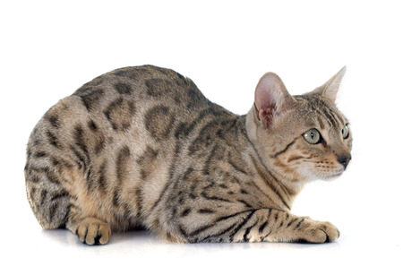 pedigree: bengal cat silver in front of white background
