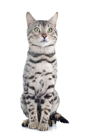 spotted: bengal cat silver in front of white background