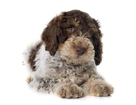 puppy lagotto romagnolo in front of white background Stock Photo