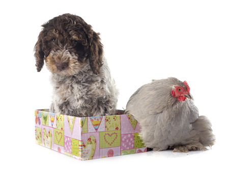 bantam hen: lagotto romagnolo and chicken in front of white background