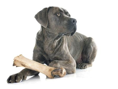 hueso de perro: mastín italiano delante de fondo blanco Foto de archivo