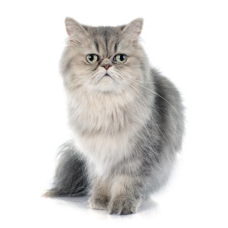 흰색 배경 앞의 페르시아 고양이
