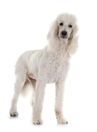 white dog: standard poodle in front of white background