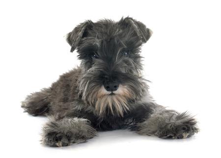 miniature: puppy Miniature Schnauzer in front of white background