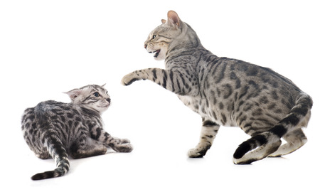 fighting bengal cats in front of white background