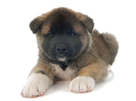akita: american akita puppy in front of white background