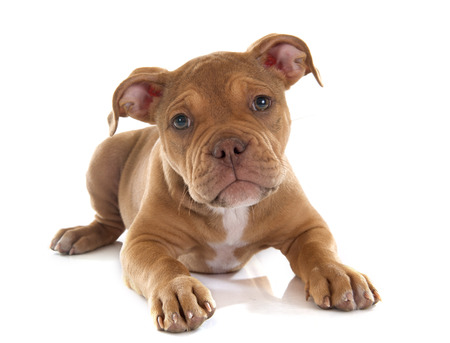 bordeaux mastiff: puppy old english bulldog in front of white background