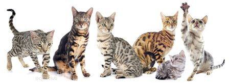 white cats: group of bengal cats on a white background