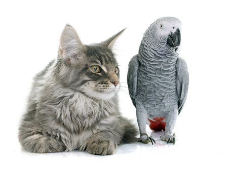 african grey parrot: African grey parrot and maine coon cat in front of white background