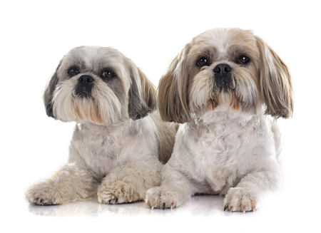 Shih Tzu in front of white background Stock Photo