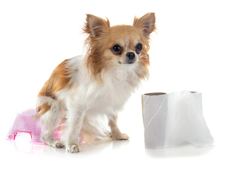pissing: chihuahua on pot in front of white background