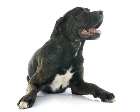 mastiff: italian mastiff in front of white background