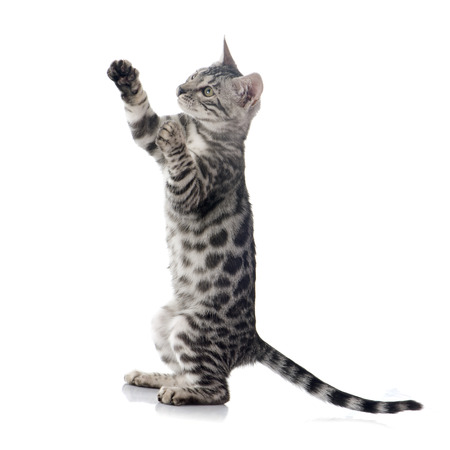 cat toy: bengal kitten in front of white background