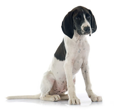 cantal: puppy Braque dAuvergne in front of white background