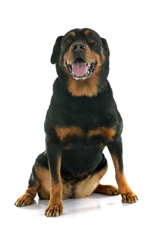 purebred: purebred rottweiler in front of white background Stock Photo