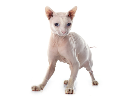 pet cat: Sphynx Hairless Cat in front of white background