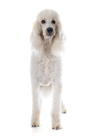 standard: standard poodle in front of white background